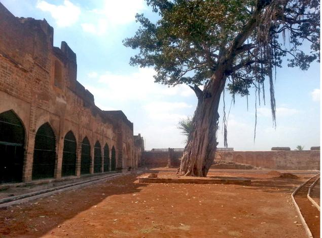 The historical banyan tree inside the Bidar fort.