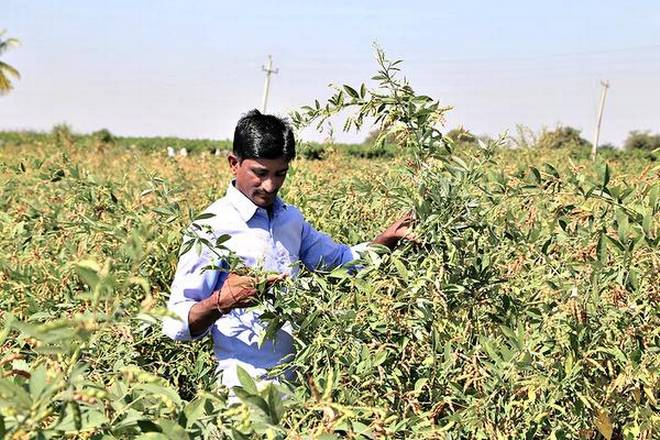Anand Bagalkot, a farmer in Somadevarahatti village, is expecting a bumper crop as he has cultivated the BSMR-736 variety of toor.