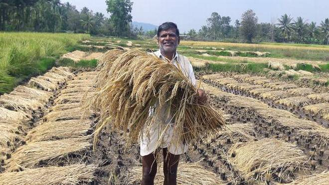 Rajappa, a paddy grower, with black rice variety at his farm in Huluse village in Somwarpet taluk. | Photo Credit: SpecialArrangement