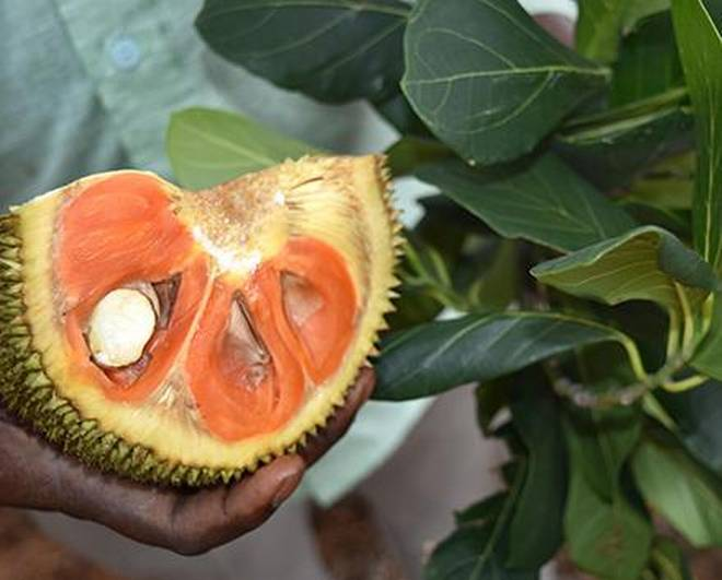 The unique jackfruit variety has coppery red flakes.     Photo Credit: Special Arrangement
