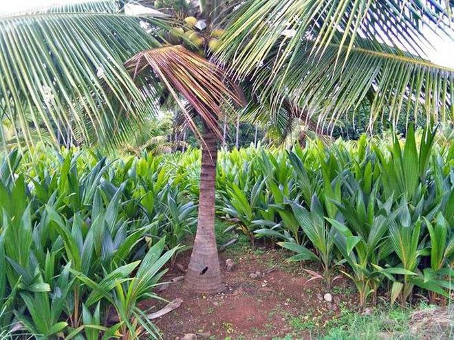Bangalore first records all coconut seedlings at the government fruits and horticulture centre near krishnaraja sagar reservoir in mandya district solutioingenieria Choice Image