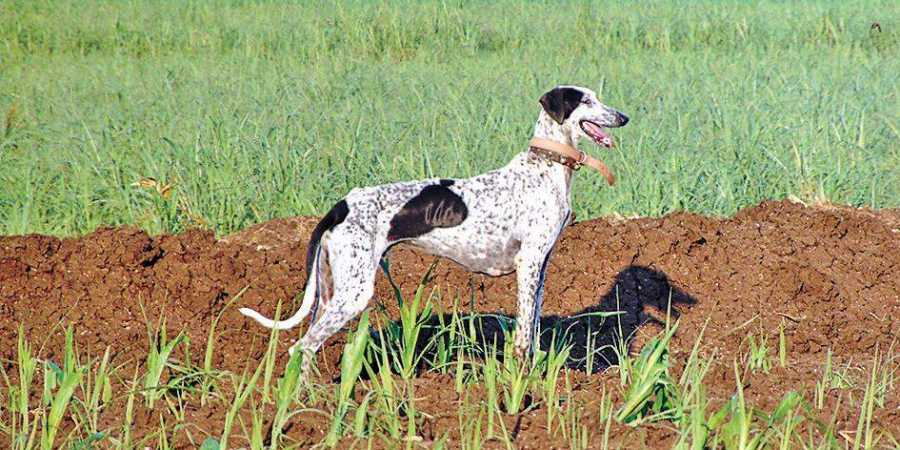 A file picture of a Mudhol hound | Express